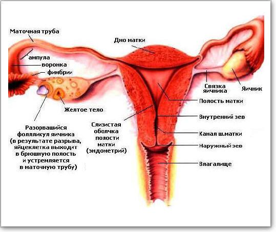 Строение женских внутренних половых органов