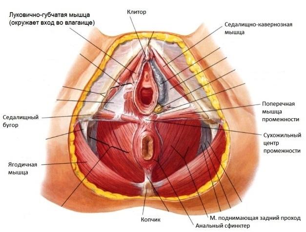Поверхностные мышцы промежности