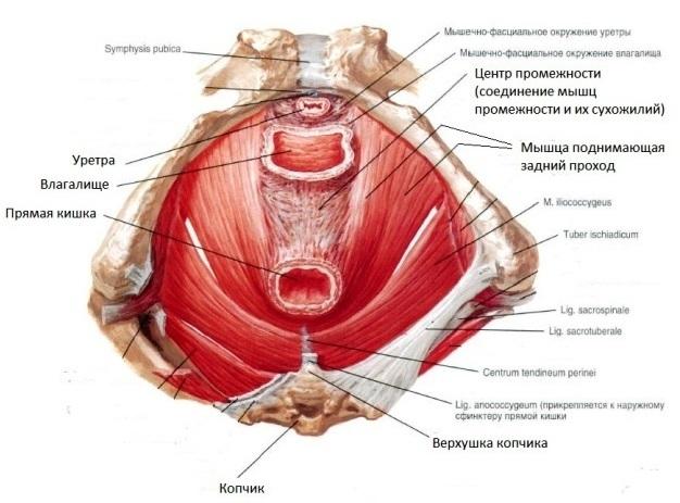 Глубокие мышцы промежности